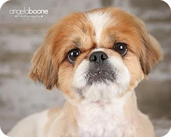 Pekingese Dog for adoption in Inver Grove, Minnesota - Theodore