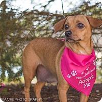 Adopt A Pet :: Angel - Grand Rapids, MI