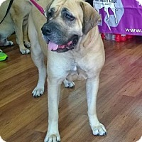 Mastiff Dog for adoption in Edmond, Oklahoma - Camille - Pending Adoption