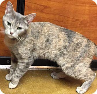 Domestic Shorthair Cat for adoption in Salisbury, North Carolina - Westard