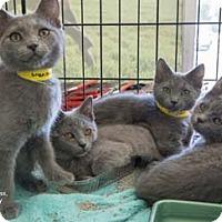 Adopt A Pet :: Banjo - Merrifield, VA