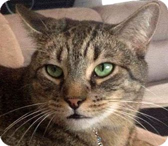 Domestic Shorthair Cat for adoption in Winchester, California - Buddha