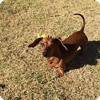 Adopt A Pet :: SKEETER - Lubbock, TX