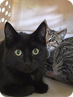 Domestic Shorthair Cat for adoption in Brainardsville, New York - Grady