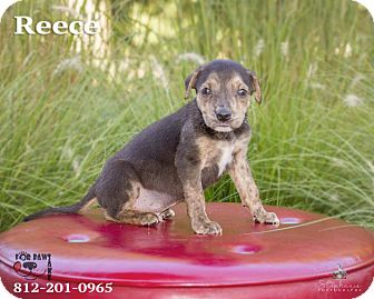 Terrier (Unknown Type, Medium) Mix Puppy for adoption in Terre Haute, Indiana - Reece