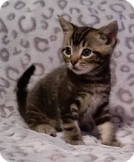 Domestic Shorthair Kitten for adoption in Rosamond, California - Tink