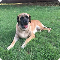 Mastiff Dog for adoption in oklahoma city, Oklahoma - Thor