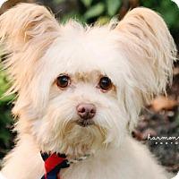 Adopt A Pet :: Jinx - Nashville, TN