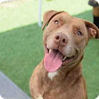 Adopt A Pet :: KARMA - Atlanta, GA
