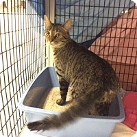 Domestic Shorthair Cat for adoption in Janesville, Wisconsin - Kelso