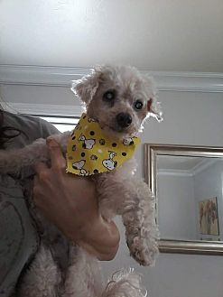 Poodle (Toy or Tea Cup) Mix Dog for adoption in Englewood, Colorado - Teddi