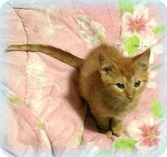 Domestic Shorthair Kitten for adoption in Sykesville, Maryland - Nacho