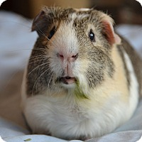 Guinea Pig for adoption in Brooklyn, New York - Liam