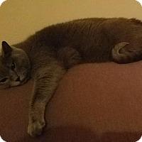 Domestic Shorthair Cat for adoption in Battle Ground, Washington - Boo