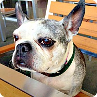 Boston Terrier Dog for adoption in Indianapolis, Indiana - Giovanna