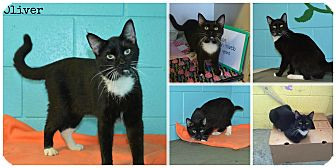 American Shorthair Cat for adoption in Bishopville, South Carolina - Oliver