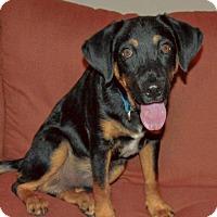 Basset Hound Mix Puppy for adoption in Allen town, Pennsylvania - Cole