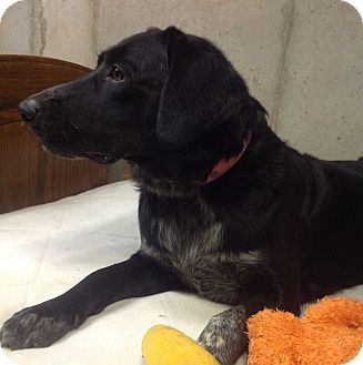 Border Collie/Labrador Retriever Mix Dog for adoption in Westport, Connecticut - Pearl
