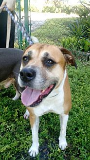 Boxer/Staffordshire Bull Terrier Mix Dog for adoption in Davie, Florida - Brownie