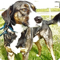 Adopt A Pet :: Harley - Grants Pass, OR