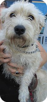 Terrier (Unknown Type, Medium) Mix Dog for adoption in Thousand Oaks, California - Murphy