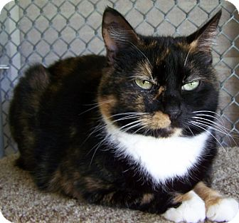 Domestic Shorthair Cat for adoption in Grants Pass, Oregon - Sylvia