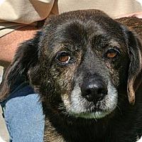 Adopt A Pet :: Sparky - white settlment, TX