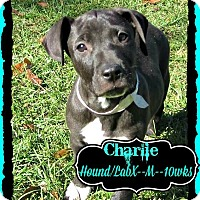 Adopt A Pet :: Charlie Adoption pending - Manchester, CT