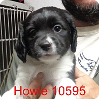 Adopt A Pet :: Howie - baltimore, MD