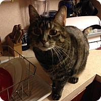 Domestic Shorthair Cat for adoption in Harrisonburg, Virginia - Savannah