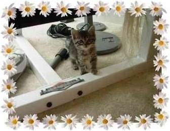 Domestic Shorthair Kitten for adoption in KANSAS, Missouri - Glamour Girl
