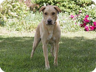 Labrador Retriever Mix Dog for adoption in Ile-Perrot, Quebec - JASPER