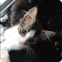 Adopt A Pet :: Tom Tom - Toronto, ON