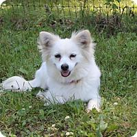 Adopt A Pet :: Miss Priss - Alexandria, VA