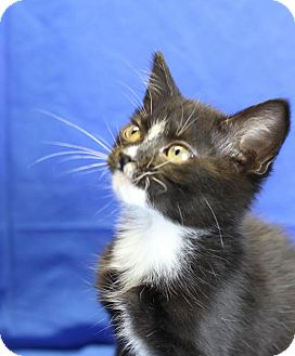 Domestic Shorthair Kitten for adoption in Winston-Salem, North Carolina - Payne