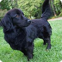 Adopt A Pet :: SHELBY - Pompton lakes, NJ