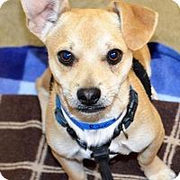 Adopt A Pet :: Chi/Terrier male X - San Jacinto, CA