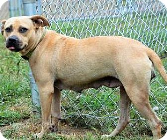 Shepherd (Unknown Type)/Terrier (Unknown Type, Medium) Mix Dog for adoption in Lincolnton, North Carolina - Vanna   only $10 fee!