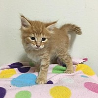 Domestic Shorthair Kitten for adoption in Baton Rouge, Louisiana - Dory