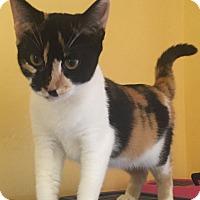 Calico Kitten for adoption in Encinitas, California - Clarissa