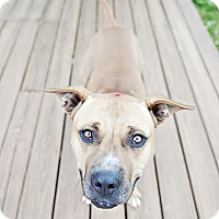 American Staffordshire Terrier Mix Dog for adoption in Youngsville, North Carolina - Romulus