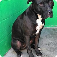 Adopt A Pet :: Odin - Redding, CA