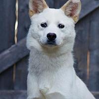 Jindo Dog for adoption in Spring Lake, New Jersey - Pine