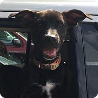 Adopt A Pet :: Starlee - Humble, TX