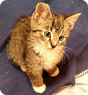 Domestic Shorthair Kitten for adoption in Los Angeles, California - Bootsy