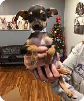 Chihuahua/Dachshund Mix Puppy for adoption in Alpharetta, Georgia - Pioppo
