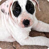 Adopt A Pet :: Laverne - Ft. Lauderdale, FL