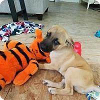 Adopt A Pet :: Sarge - Santa Fe, TX
