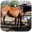 Photo 4 - Quarterhorse for adoption in Washington, Connecticut - Jody