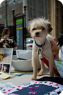 Brussels Griffon/Chihuahua Mix Puppy for adoption in Chicago, Illinois - MORGAN